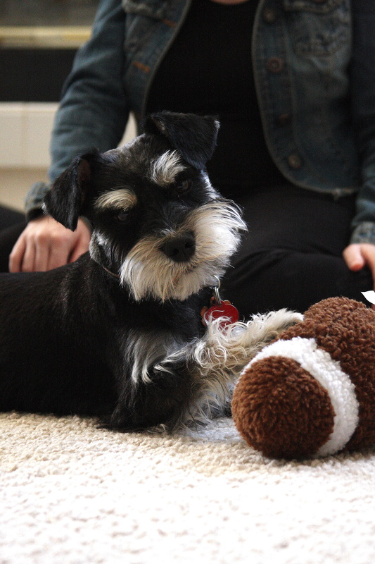 Charlie The Miniature Schnauzer | Nosh and Nurture